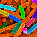 Le microbiote intestinal : de nouvelles pistes thérapeutiques