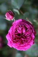 Rose odorante. © Jean-Claude Caissard