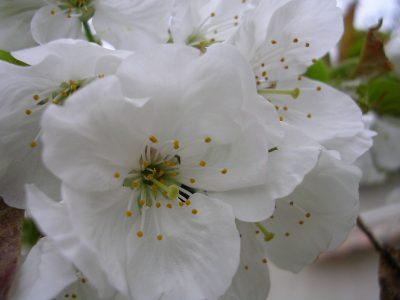 cherry blossom (2)