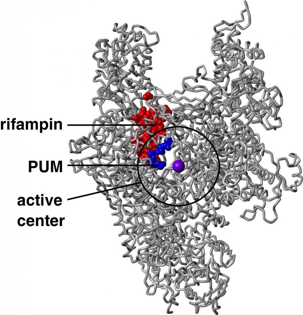 comparaison du mécanisme d'action du Pseudoridimycine (PUM) et de la rifamycine Crédit :