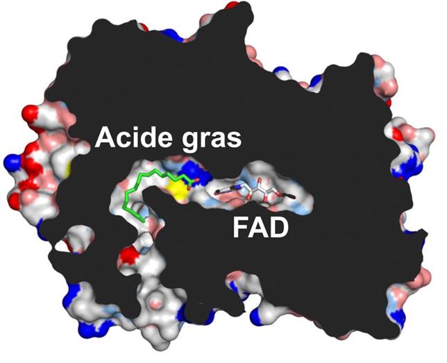 Figure 1. Schéma de la réaction catalysée par la FAP. crédit CEA