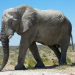 Le gène anticancer de l'éléphant